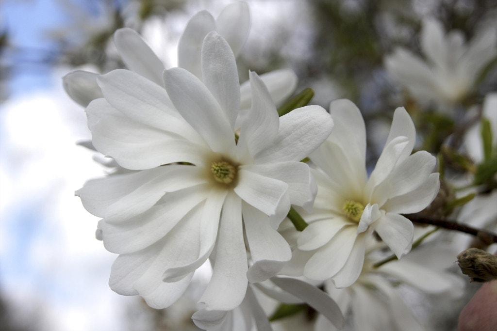 Stermagnolia als struik (Magnolia stellata 'Royal Star')-Plant in pot-80/100 cm. Kleur: wit