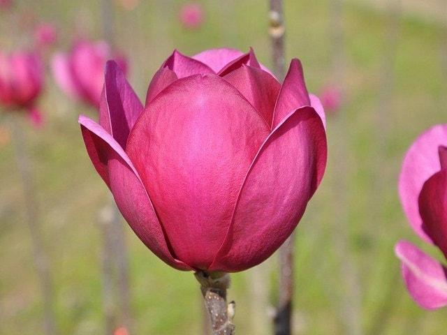 Beverboom (Magnolia 'Black Tulip')-60/80 cm-Plant in pot