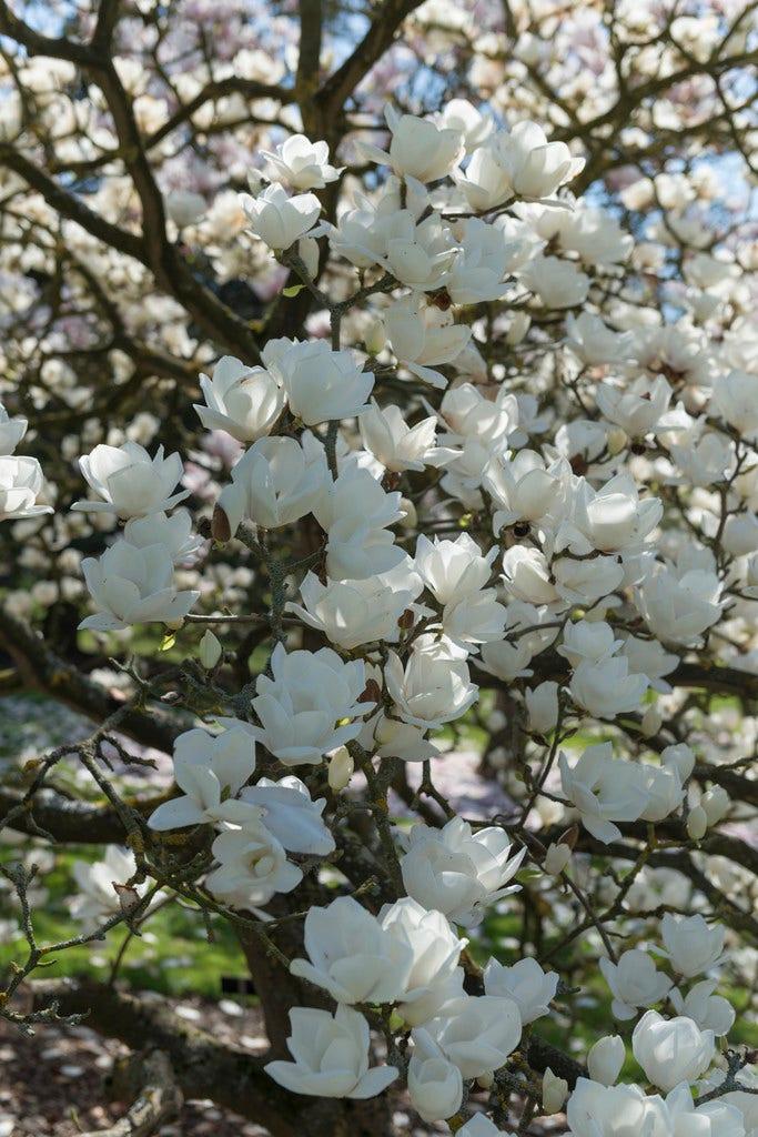 Beverboom (Magnolia denudata)-Plant in pot-175/200 cm. Kleur: wit