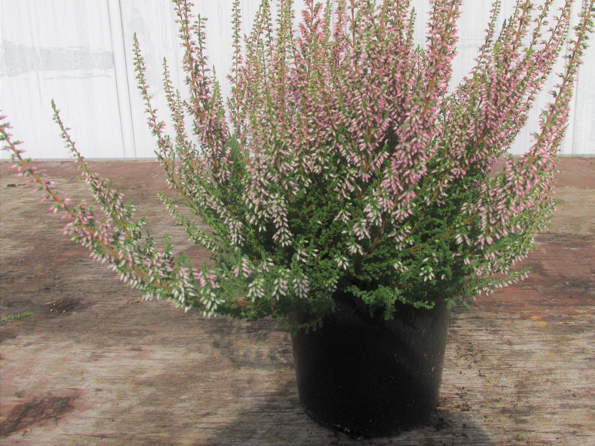 Struikheide (Calluna vulgaris 'Mandy')-Plant in pot-C1,5. Kleur: roze