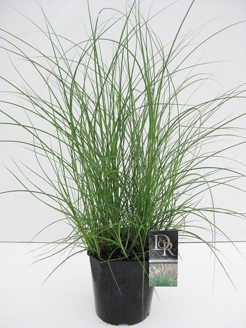 Prachtriet (Miscanthus sinensis 'Adagio')-Plant in pot-C2