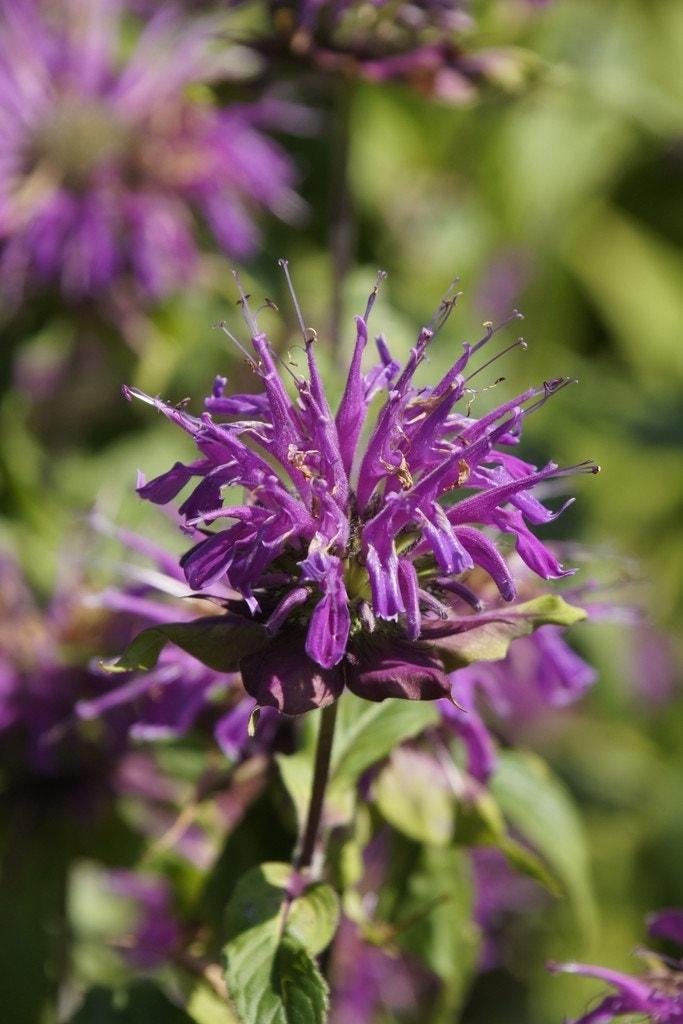 Bergamotplant/Hanekam (Monarda 'Blaustrumpf') - P9. Kleur: paars