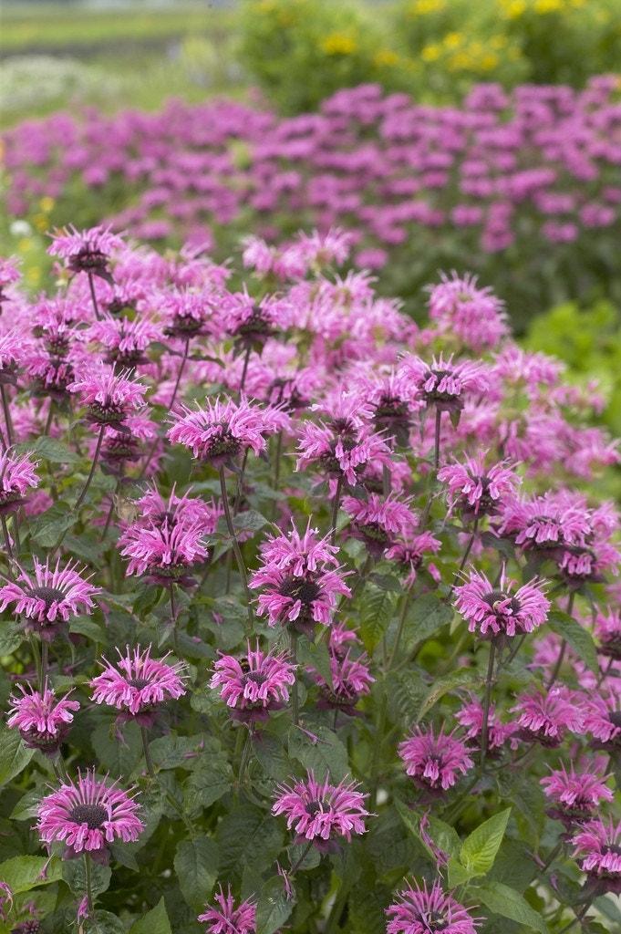 Bergamotplant/Hanekam (Monarda 'Croftway Pink') - P9. Kleur: roze
