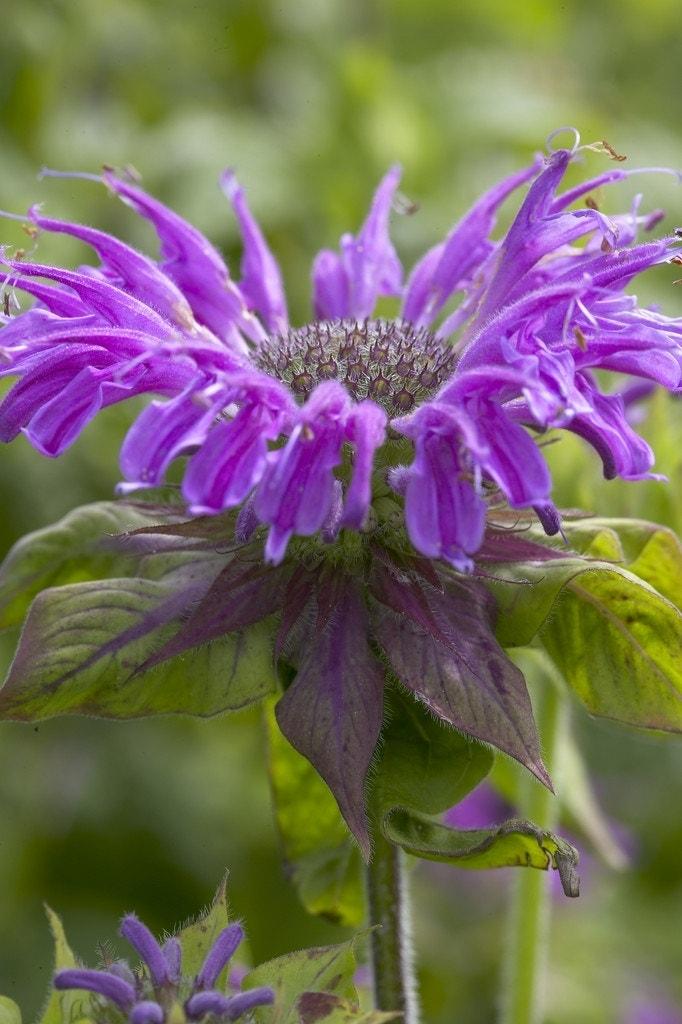 Bergamotplant/Hanekam (Monarda 'Prarienacht') - P9. Kleur: paars