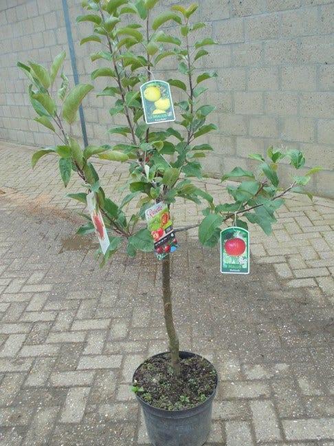 Familieboom (appel)-Plant in pot-laagstam. Kleur: wit