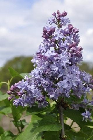 Sering (Syringa vulgaris 'Nadezhda')-Plant in pot-50/60 cm. Kleur: paars