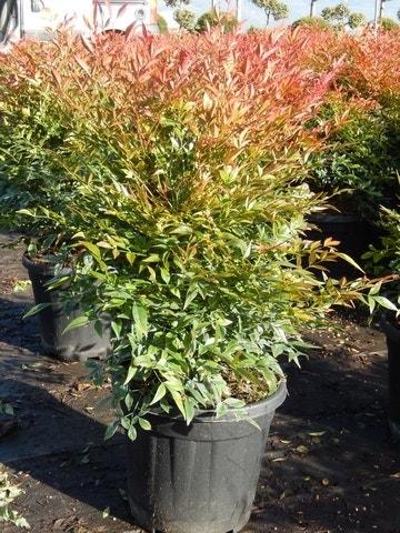 Hemelse bamboe (Nandina domestica 'Gulf stream')-Plant in pot-50/60 cm