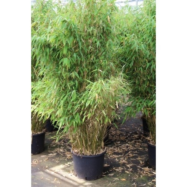 Niet woekerende bamboe (Fargesia robusta 'Campbell')-Plant in pot-50/60 cm