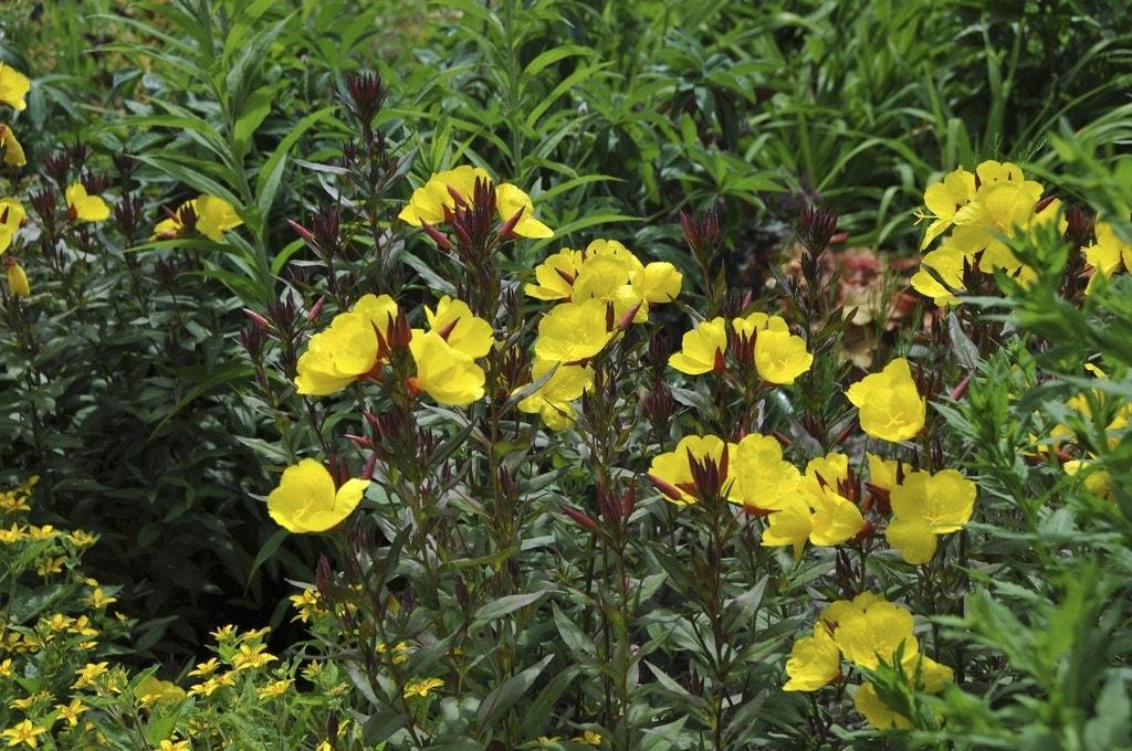 Teunisbloem (Oenothera fruticosa 'Sonnenwende') - P9. Kleur: geel