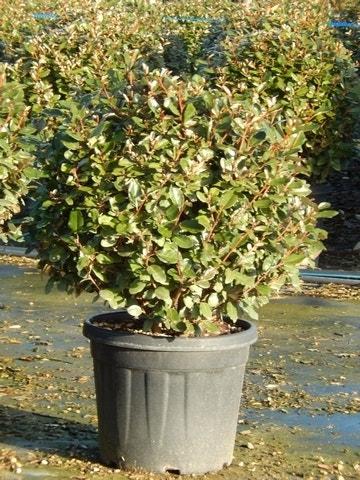 Olijfwilg als bol (Elaeagnus ebbingei 'Compacta')-Plant in pot-60/70 cm bol