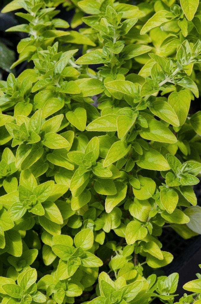 Majoraan/marjolein (Origanum vulgare 'Aureum'). Kleur: wit
