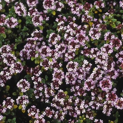 Majoraan/marjolein (Origanum vulgare 'Compactum'). Kleur: roze