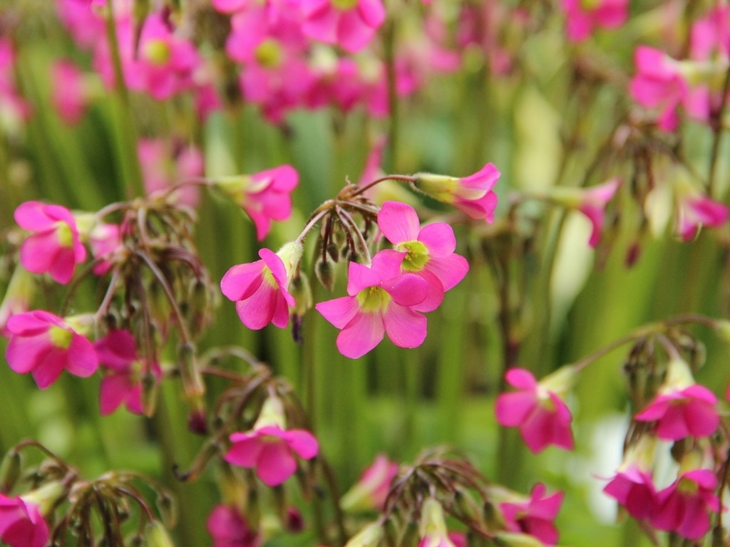 Klavertje vier (Oxalis lasiandra). Kleur: roze
