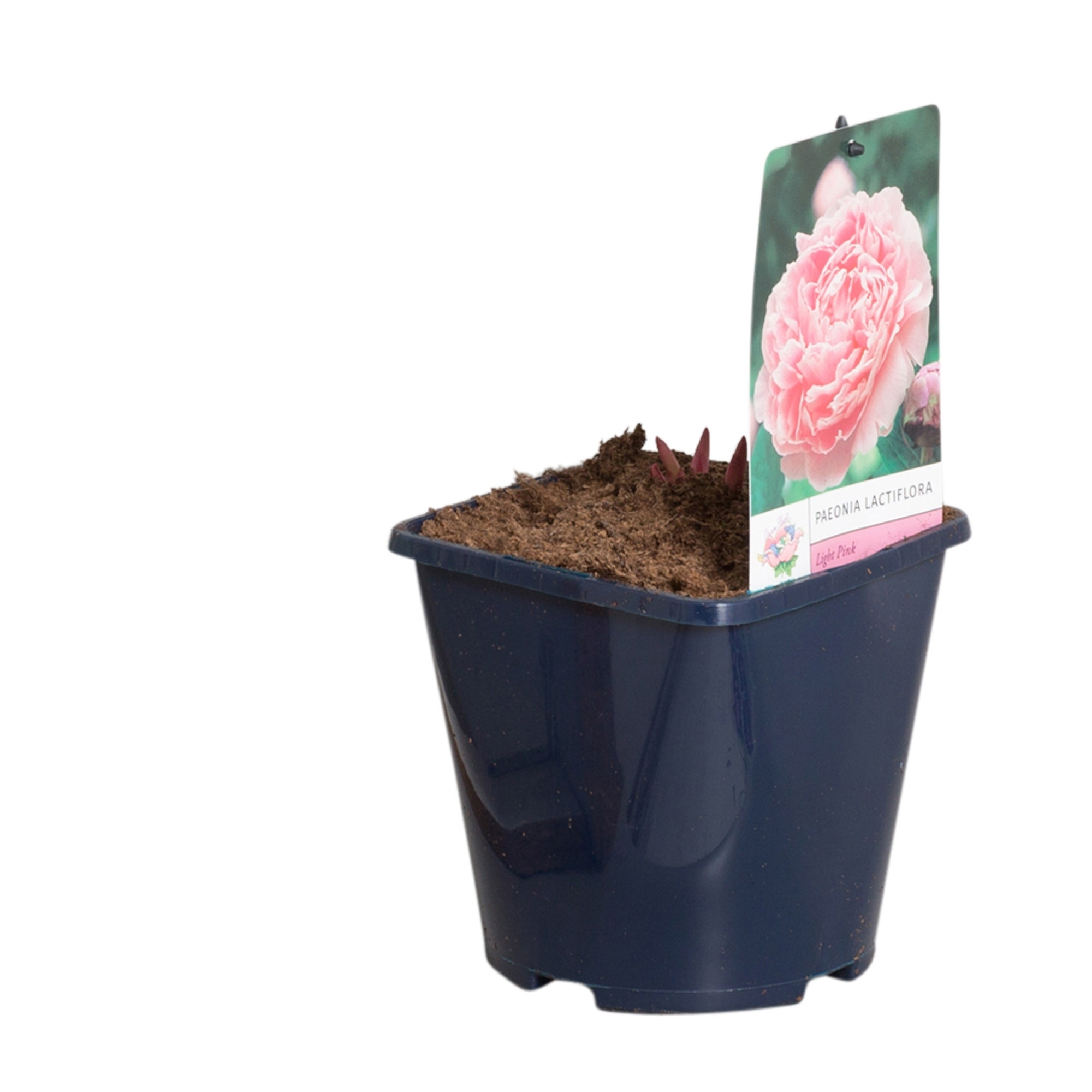 Licht roze Pioenroos ( (Paeonia lactiflora)-Plant in pot-p11. Kleur: roze
