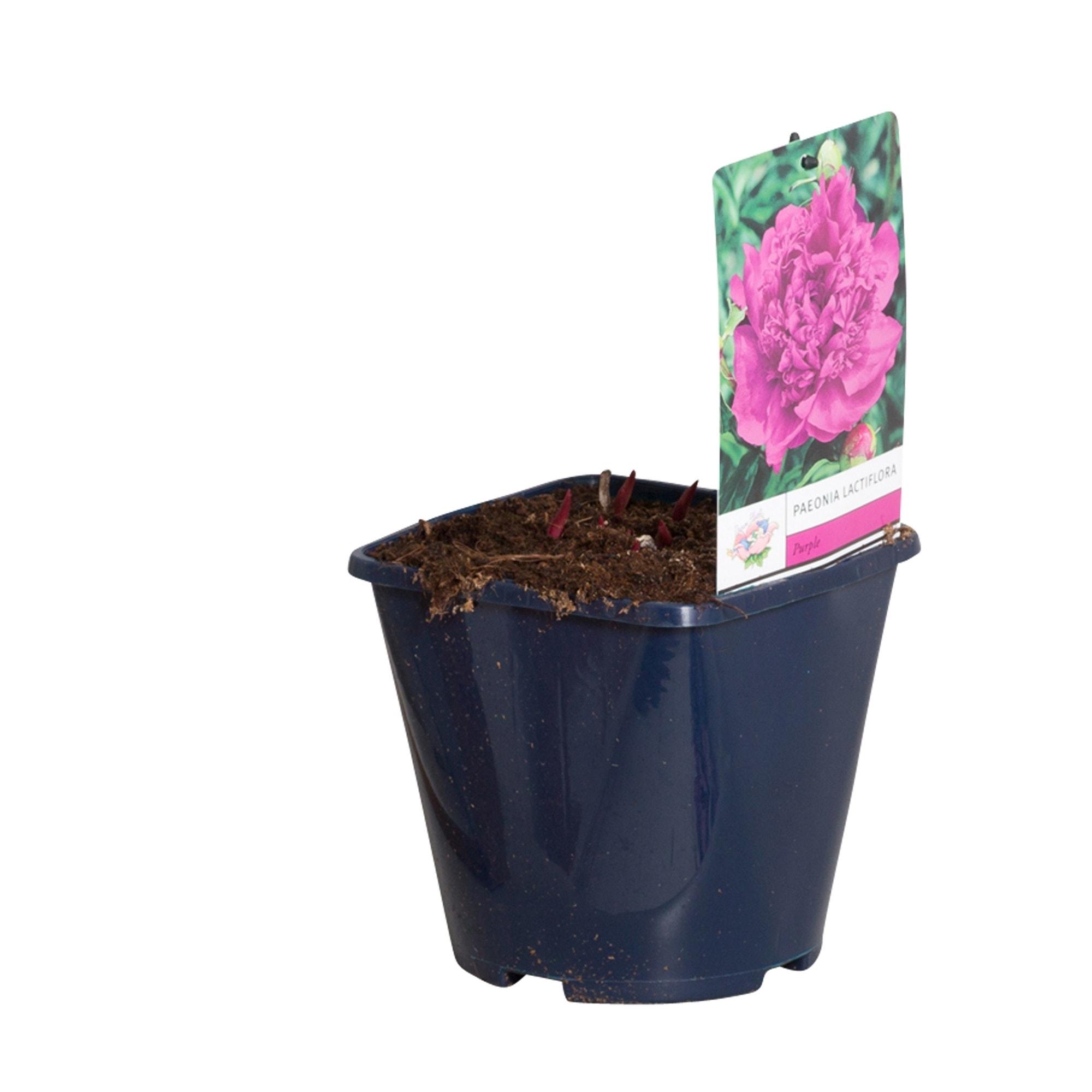 Paarse Pioenroos (Paeonia lactiflora)-Plant in pot-p11. Kleur: paars