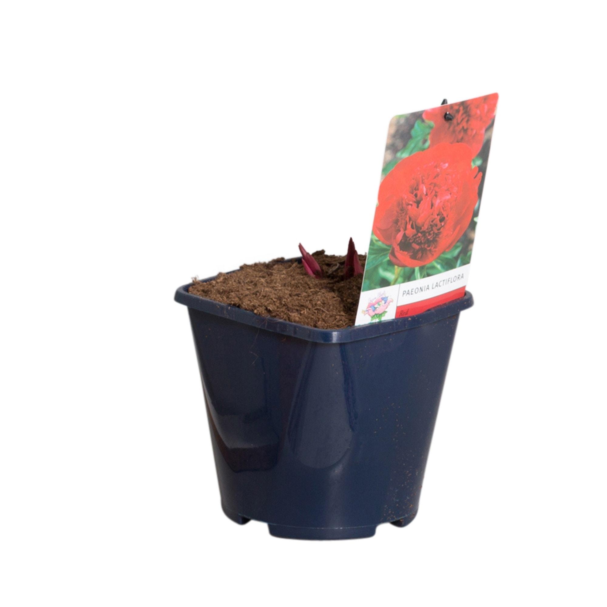 Rode Pioenroos (Paeonia lactiflora)-Plant in pot-p11. Kleur: rood