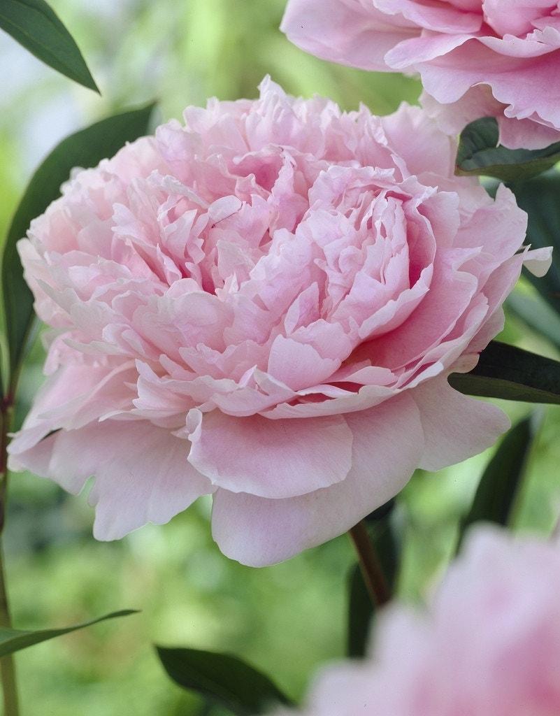 Pioenroos (Paeonia 'Sarah Bernhardt')-Plant in pot-C7. Kleur: roze