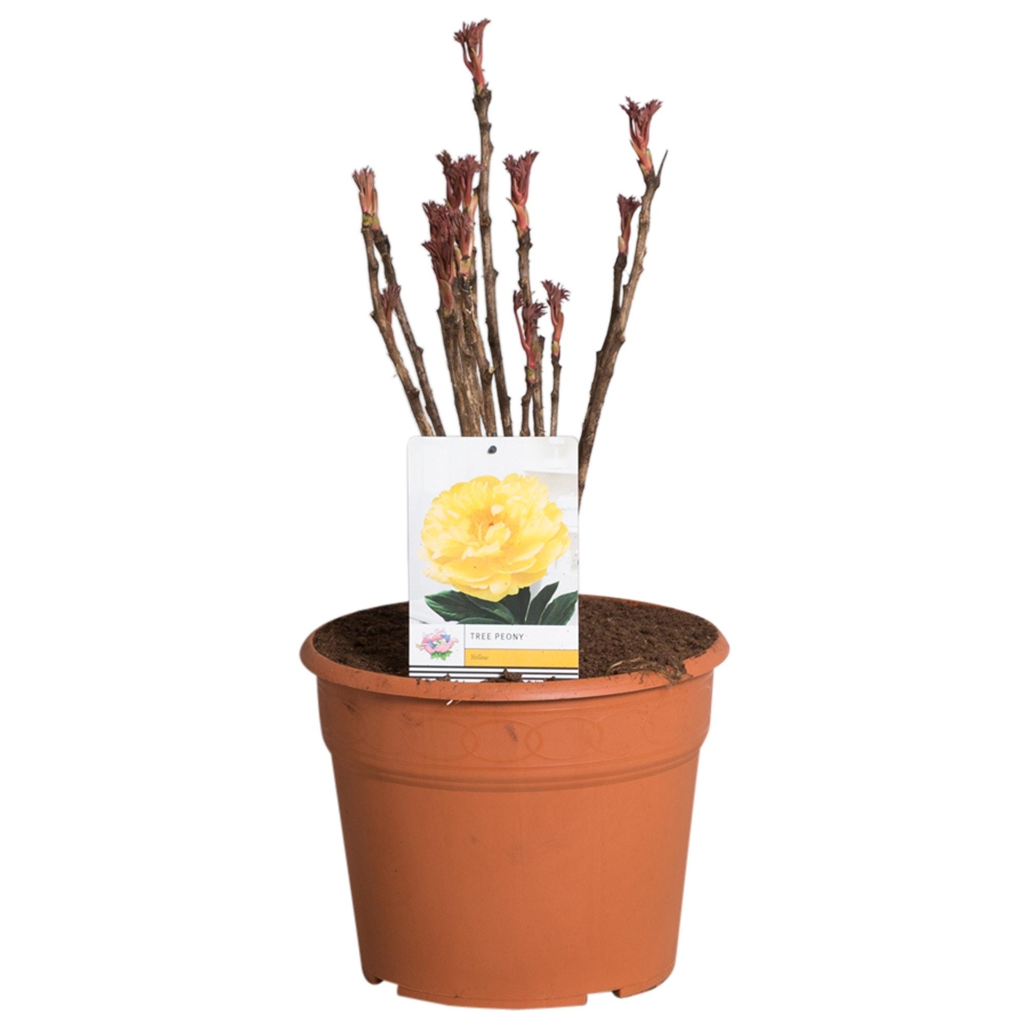 Gele Boompioen (Paeonia suffruticosa)-Plant in pot-p11. Kleur: geel