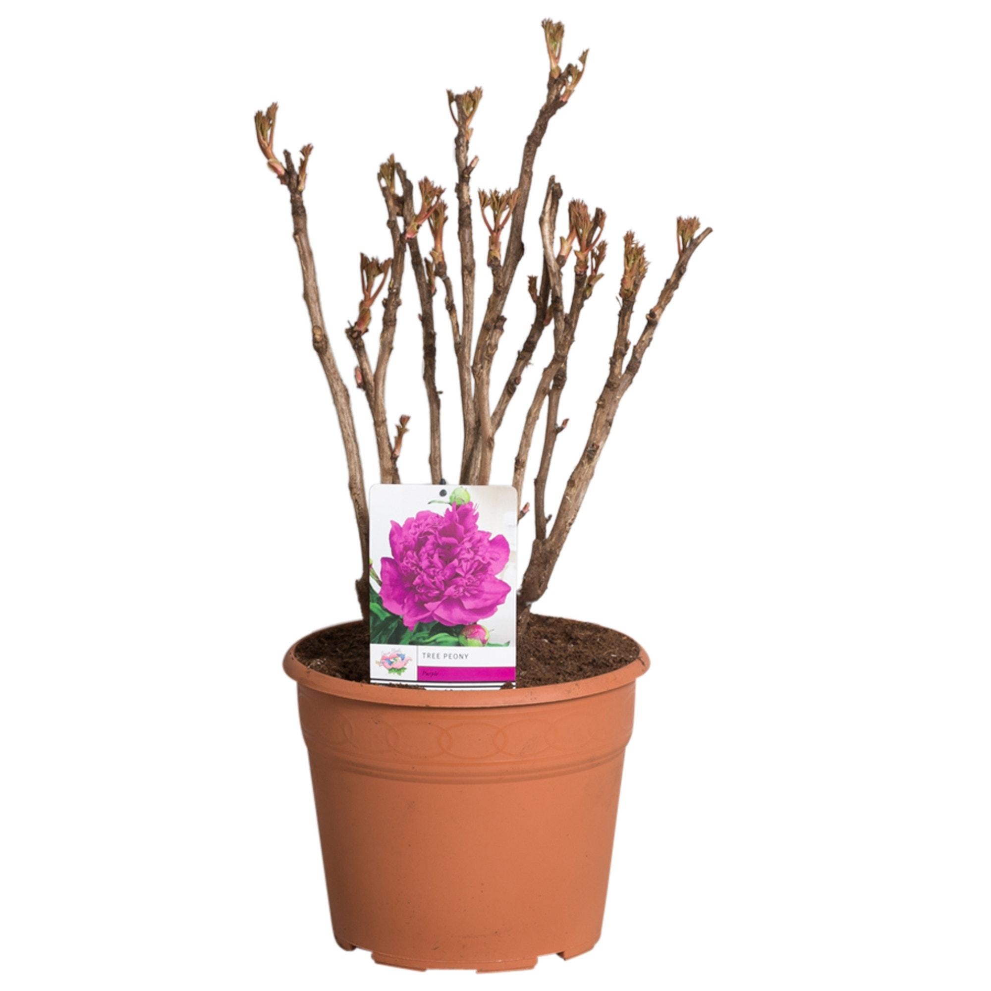 Paarse Boompioen (Paeonia suffruticosa)-Plant in pot-p11. Kleur: paars
