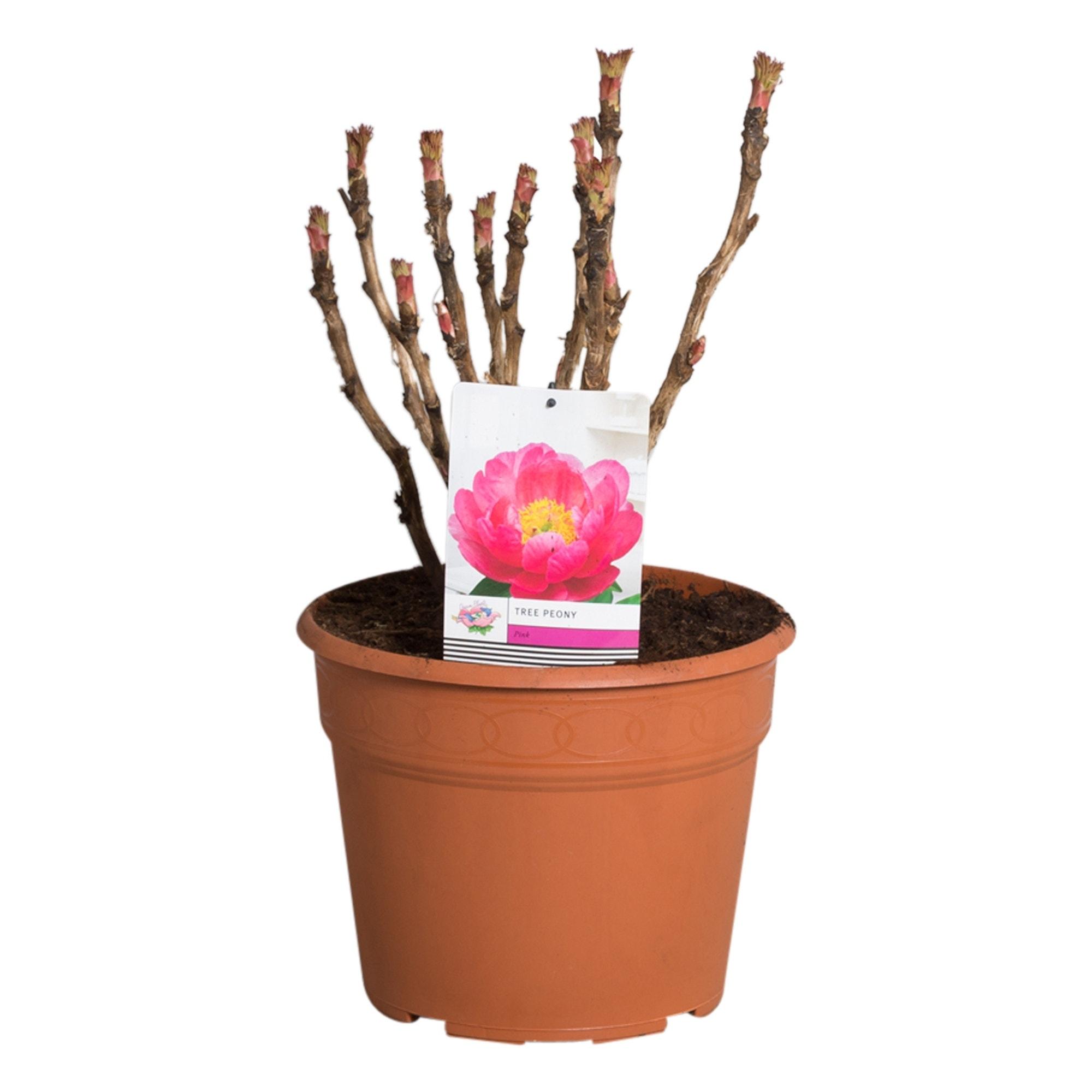 Roze Boompioen (Paeonia suffruticosa)-Plant in pot-p11. Kleur: roze