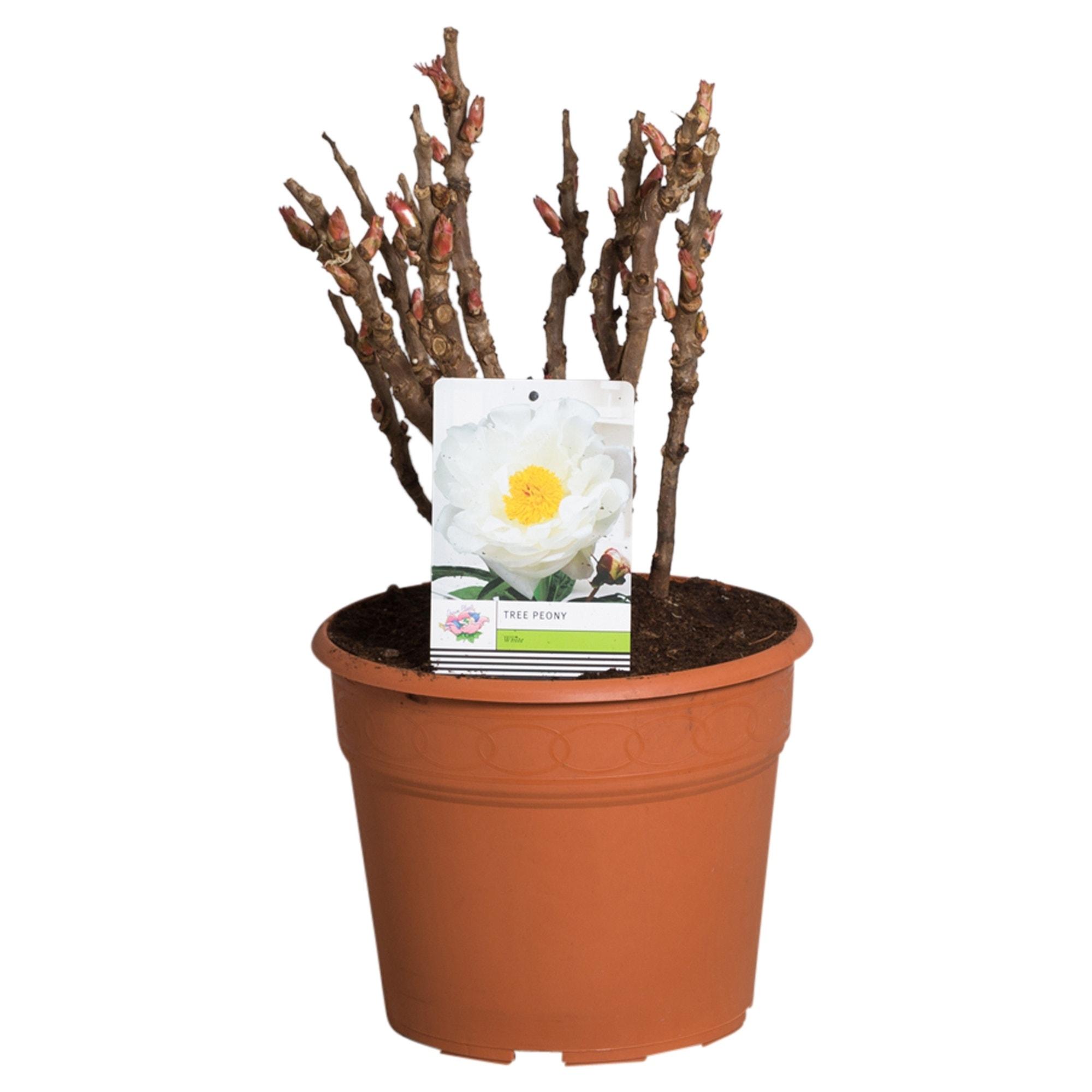 Witte Boompioen (Paeonia suffruticosa)-Plant in pot-p11. Kleur: wit