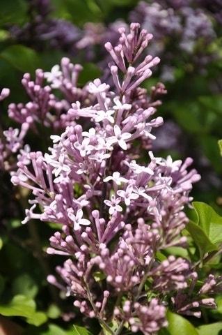 Dwerg Sering (Syringa meyeri 'Palibin')-Plant in pot-80/90 cm. Kleur: roze