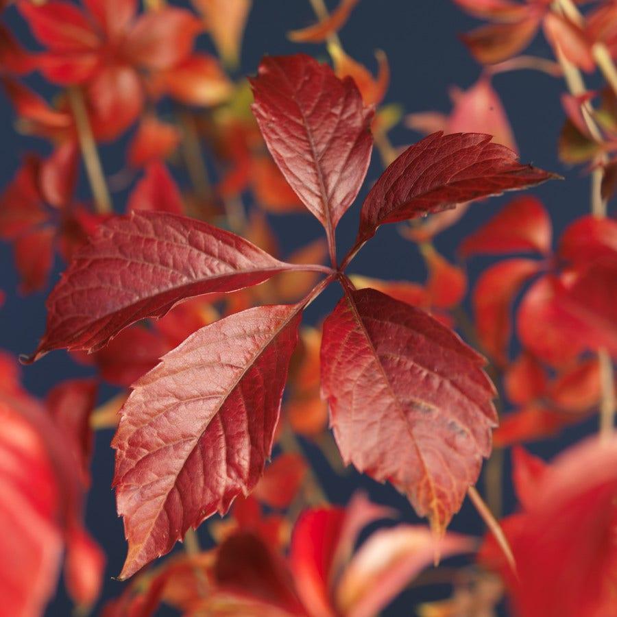 Wilde wingerd (Parthenocissus quinquefolia 'Engelmannii')-Plant in pot-60/80 cm