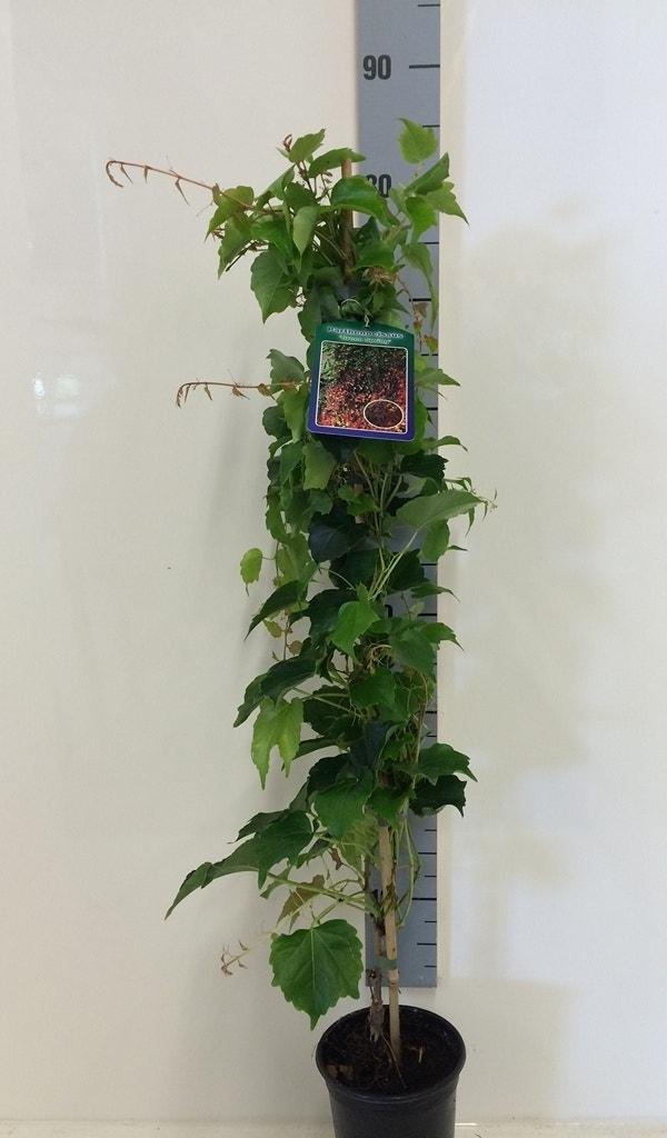 Wilde wingerd (Parthenocissus tricuspidata 'Green Spring')-Plant in pot-80/90 cm. Kleur: geel