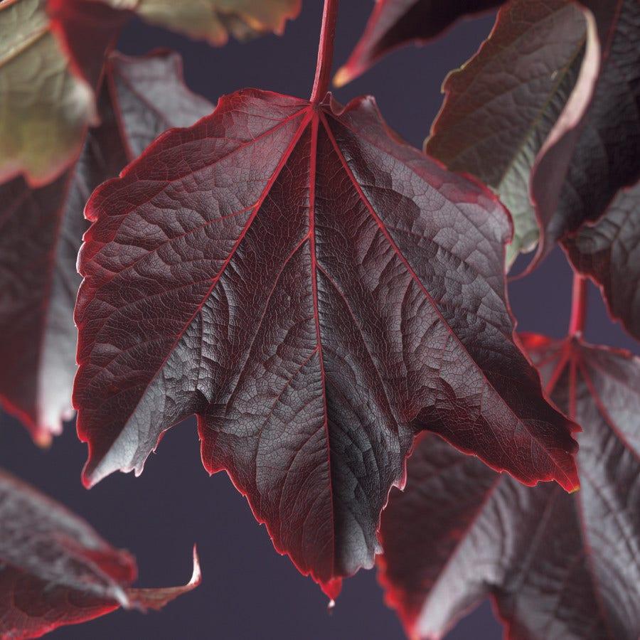 Wingerd (Parthenocissus tricuspidata 'Veitchii')-Plant in pot-80/100 cm. Kleur: groen