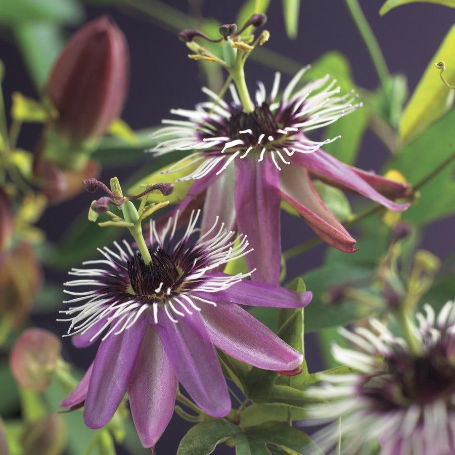 Passiebloem (Passiflora 'Victoria')-Plant in pot-80/100 cm