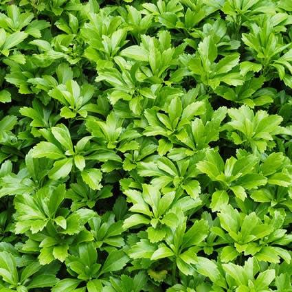 Pachysandra (Pachysandra terminalis 'Green Carpet')-Plant in pot-C1,5. Kleur: wit