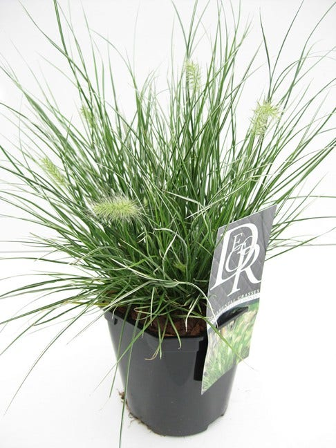 Lampepoetsersgras (Pennisetum 'Little Honey')-Plant in pot-C2