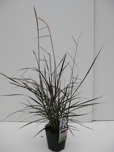 Lampepoetsersgras (Pennisetum 'Metallica')-Plant in pot-C2