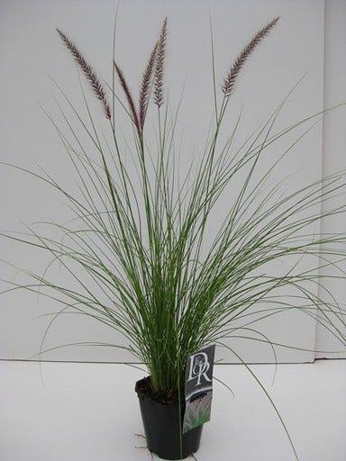 Lampepoetsersgras (Pennisetum 'Rupelli')-Plant in pot-C3