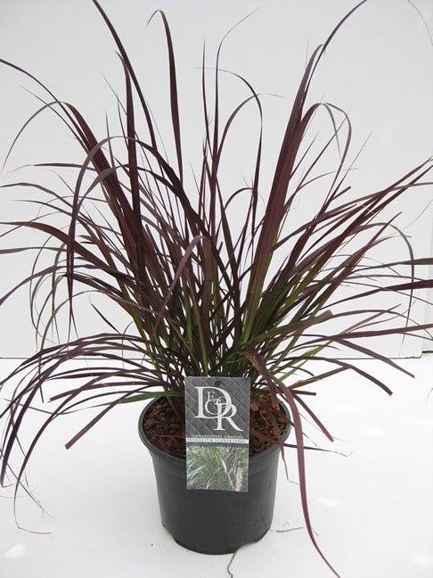 Lampepoetsersgras (Pennisetum 'Summer Samba')-Plant in pot-C2