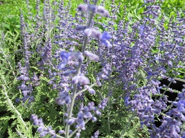 Perovskia (Perovskia atriplicifolia 'Lacey Blue')-Plant in pot-30/40 cm. Kleur: paars
