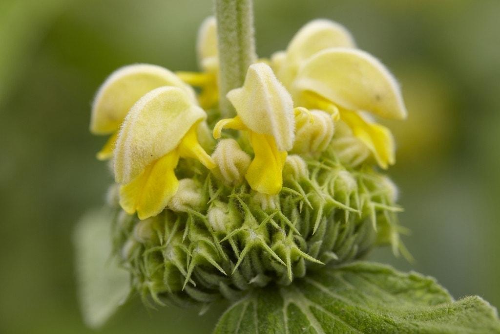 Viltkruid (Phlomis russeliana)-Plant in pot-C2. Kleur: geel
