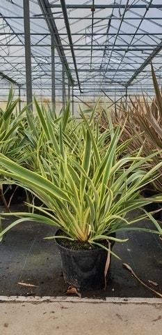 Nieuw-Zeelands vlas (Phormium 'Duet')-Plant in pot-C5