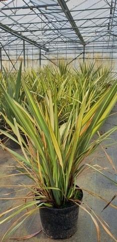 Nieuw Zeelands vlas (Phormium 'Apricot Queen') -Plant in pot-C5