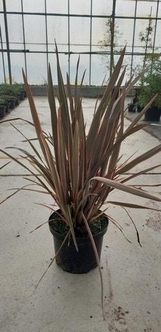 Nieuw-Zeelands vlas (Phormium 'Sundowner')-Plant in pot-C5