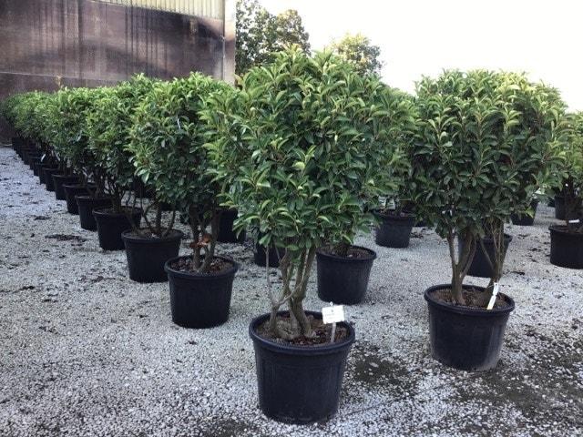 Meerstammige Glansmispel (Photinia fraseri 'Red Robin')-Plant in pot-150/200 meerstammig