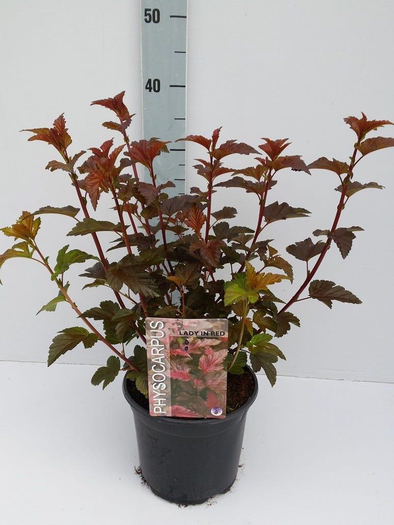 Blaasspirea (Physocarpus opulifolius 'Lady in Red') -Plant in pot-30/40 cm. Kleur: roze