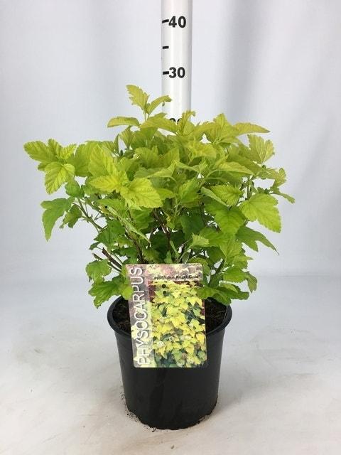 Blaasspirea (Physocarpus opulifolius 'Angel Gold') -Plant in pot-30/40 cm