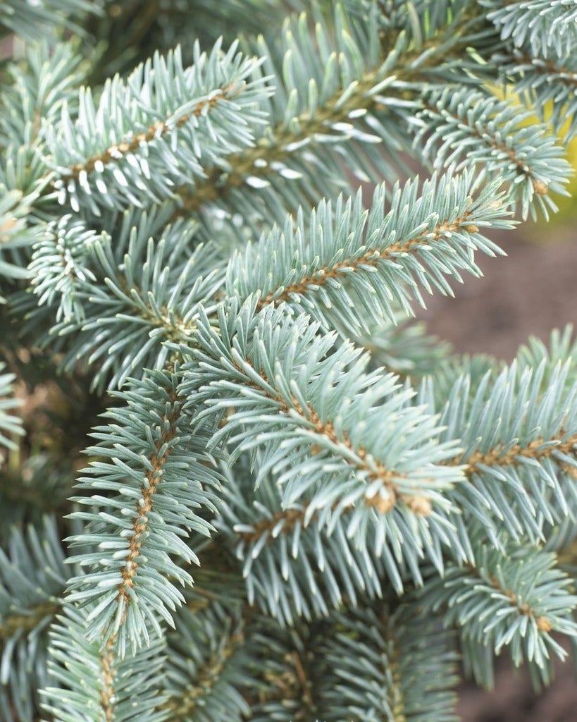 Fijnspar (Picea abies)-Plant in pot-30/40 cm