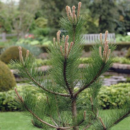 Pinus (Pinus sylvestris)-Plant in pot-15/20 cm
