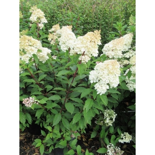 Pluimhortensia (Hydrangea paniculata 'Bobo')-Plant in pot-20/25 cm. Kleur: wit