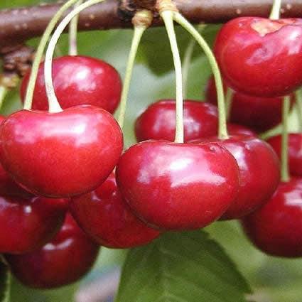 Kersenboom (Prunus avium 'Regina')-Plant in pot-Struik