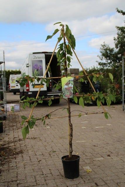 Kersenboom (Prunus 'Hedelfinger Riesenkirsche') Leivorm