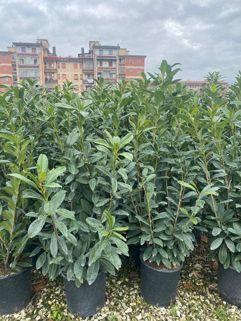 Laurier (Prunus laurocerasus 'Caucasica')-Plant in pot-40/60 cm. Kleur: wit