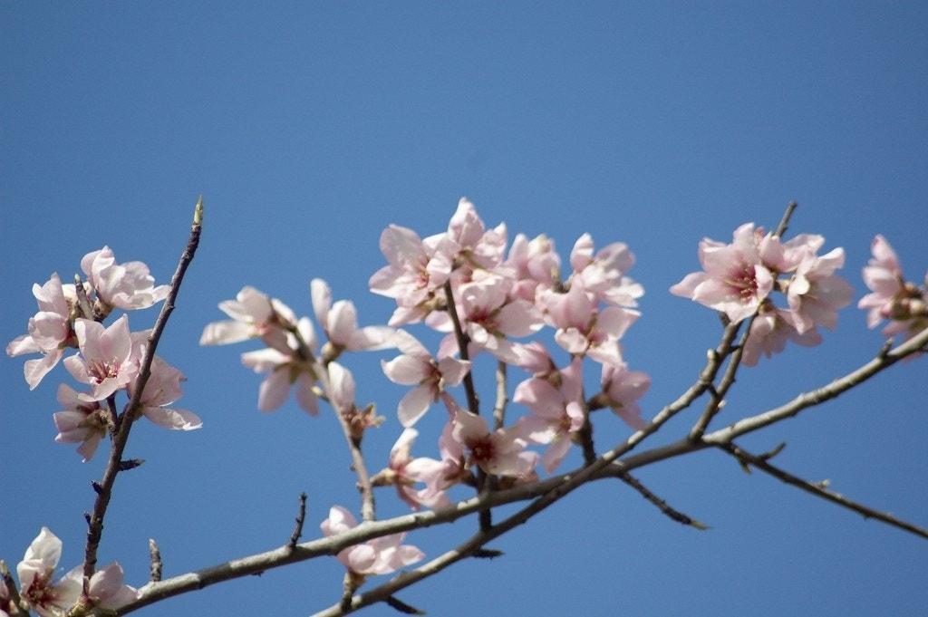 Amandelboom (Prunus dulcis 'Robijn'). Kleur: roze